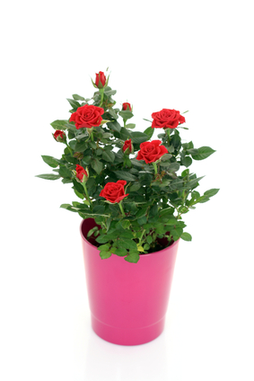 Buy Potted Miniature Roses